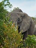 Erwachsener Elefant ist hinter einem Busch Stockfotos