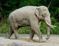 Erwachsener Elefant mit den großen Stoßzähnen am Zoo von Berlin in Deutschland Lizenzfreie Stockfotografie