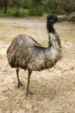Erwachsener Emu (Dromaius novaehollandiae) lizenzfreie stockfotos