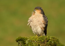 Erwachsener Eurasier Sparrowhawk (Accipiter nisus) hockend auf einem Beitrag Lizenzfreie Stockbilder