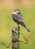 Erwachsener Eurasier Sparrowhawk (Accipiter nisus) hockend auf einem Beitrag Stockbild