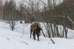 Erwachsener europäischer Bison im Nationalpark Stockbild