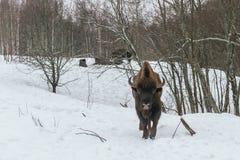 Erwachsener europäischer Bison im Nationalpark Lizenzfreie Stockfotografie