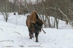 Erwachsener europäischer Bison im Nationalpark Lizenzfreies Stockfoto