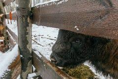 Erwachsener europäischer Bison im Nationalpark, der Gräser isst Stockbilder