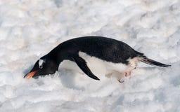 Erwachsener Gentoo-Pinguin, der Schnee, antarktische Halbinsel isst lizenzfreies stockfoto