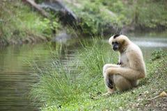 Erwachsener Gibbon Stockfotografie