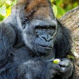 Erwachsener Gorilla, der einen Samen oder eine Beere überprüft Stockfotografie