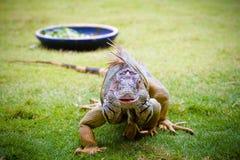 Erwachsener grüner Leguan Stockbilder