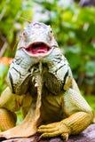 Erwachsener grüner Leguan Stockfotografie