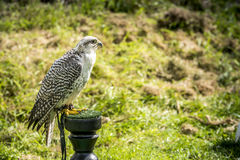 Erwachsener grauer Falke Stockfoto