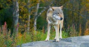 Erwachsener grauer Wolf, der auf einem Felsen im Wald steht stock footage