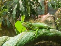 Erwachsener grüner gemeiner Leguan, der auf einem Stamm stillsteht Stockfotos