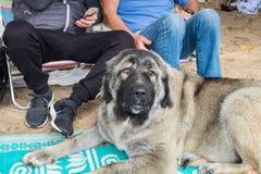 Erwachsener großer kaukasischer Schäferhund legt auf Sänfte stockfotos