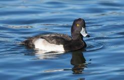 Erwachsener heftete sich Duck Aythya-fuligula durch lizenzfreies stockfoto