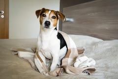 Erwachsener Hund Jack Russell, der im Schlafzimmer eingewickelt in einer Decke sitzt lizenzfreies stockbild