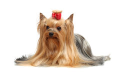 Erwachsener Hundeyorkshire-Terrier Stockfotografie