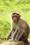 Erwachsener indischer Rhesusfaktormakakenaffe (Macaca mulatta) Lizenzfreie Stockbilder