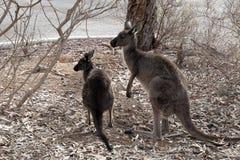 Erwachsener Känguru mit joey stockfotos
