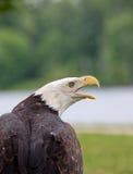 Erwachsener kahler Adler Stockbilder