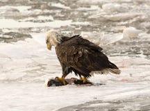 Erwachsener kahler Adler Stockfotografie