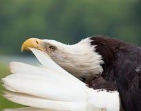 Erwachsener kahler putzender Adler Lizenzfreie Stockfotos