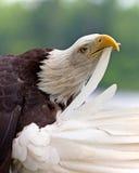 Erwachsener kahler putzender Adler Lizenzfreies Stockbild
