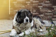 Erwachsener kaukasischer Schäferhund im Yard stockbilder