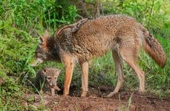 Erwachsener Kojote (Canis latrans) mit Welpen darunterliegend Lizenzfreie Stockfotografie