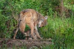 Erwachsener Kojote (Canis latrans) streitet sich mit Welpen bei Densite Lizenzfreies Stockbild