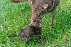 Erwachsener Kojote (Canis latrans) und Welpe am Spiel Stockfotografie