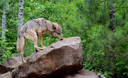 Erwachsener Kojote, der auf einem Felsen steht Lizenzfreies Stockfoto