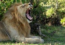 Erwachsener Löwe, der in den Büschen gähnt stockbilder