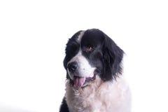 Erwachsener landseer Hund stockbild