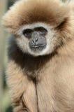 Erwachsener Lar-Gibbon (weißer übergebener Gibbon) Stockfotos