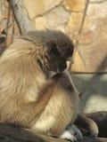 Erwachsener Largibbon sitzt traurig oder durchdacht mit seinem Kopf auf seinen Knien Lizenzfreies Stockbild