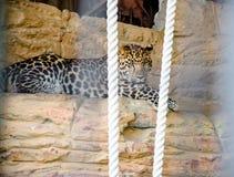 Erwachsener Leopard Lizenzfreies Stockfoto