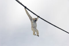 Erwachsener Madagaskar-Maki-Affe, der vom Seil an einem bewölkten Tag hängt Lizenzfreie Stockfotos