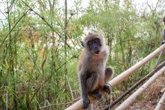 Erwachsener Makaken-Affe Stockfoto