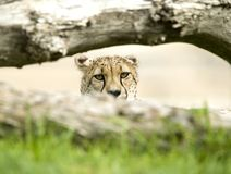 Erwachsener Mann des afrikanischen Geparden hinter großer Katze des Baums Stockfotografie
