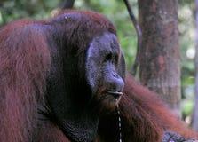 Erwachsener Mann des Orang-Utans mit Tröpfchen. Stockfoto