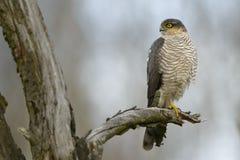 Erwachsener Mann-Sparrowhawk-Accipiter nisus, das auf der toten tre Niederlassung steht Lizenzfreie Stockfotografie