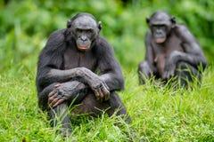 Erwachsener Mann von Bonobo Stockbilder