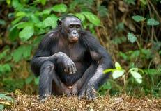 Erwachsener Mann von Bonobo Stockfoto