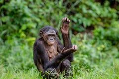 Erwachsener Mann von Bonobo auf dem grünen natürlichen Hintergrund Stockfotos