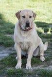 Erwachsener Mannes-Labrador retriever-Hund Stockfotos