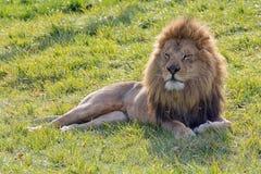 Erwachsener Mannesafrikanischer Löwe, der auf grünem Gras liegt Lizenzfreie Stockbilder