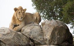 Erwachsener Mannesafrikanischer Vorlöwe, der auf einem Felsen auf dem Serengeti stillsteht, Stockfoto