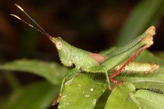 Erwachsener Mannesheuschrecke tadellos getarnt gegen den grünen Hintergrund Stockbilder