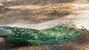 Erwachsener Mannespfau, der weg von Kamera mit den bunten und vibrierenden Federn, klarem blauem Körper und grünen dem Neon gefär stockfoto